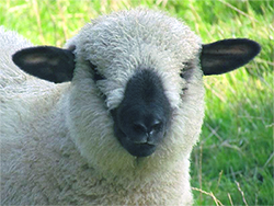 sheep-head